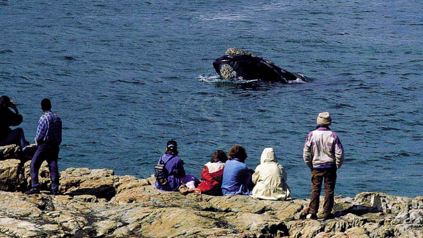 La baie de Hermanus et ses baleines, Observation des baleines en Afrique du Sud © Rod Hastier