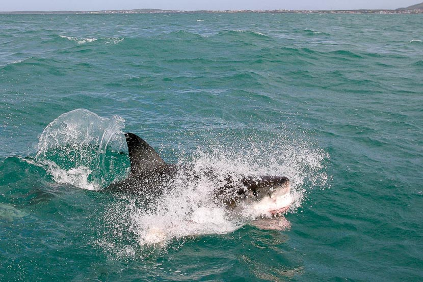 Plongée requins à Gaansbai, Excursion Requins à Gansbaai, Afrique du sud