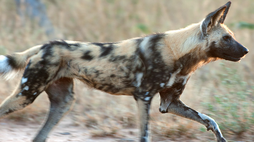 Parc national du Kruger, Safari en Afrique du Sud © Alain Pons