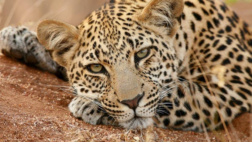 Les léopards de Sabi Sand, Léopard © &Beyond / Alan Murray