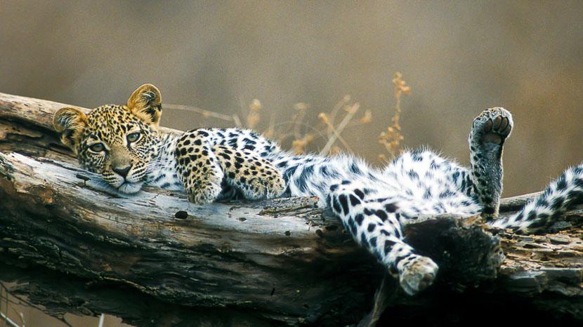 Les léopards de Sabi Sand, Léopard © &Beyond / Ron Magill