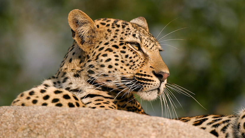 Les léopards de Sabi Sand, Afrique du sud