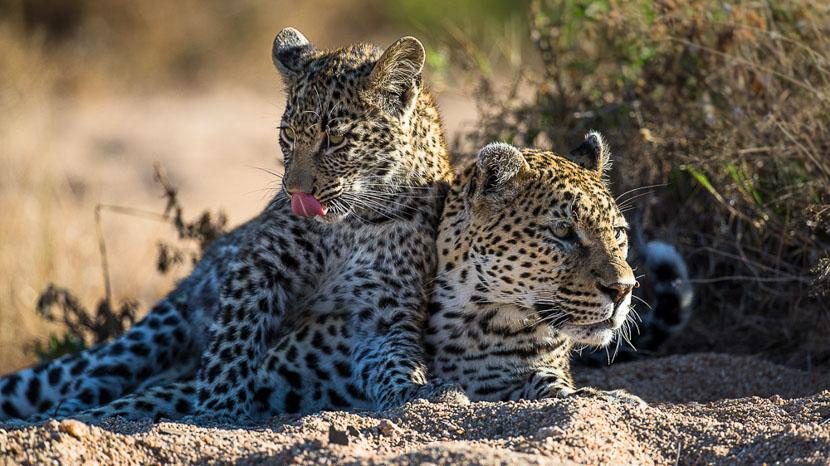 Réserve privée de Sabi Sand, Safari à Sabi Sand, Afrique du Sud © Christophe Courteau