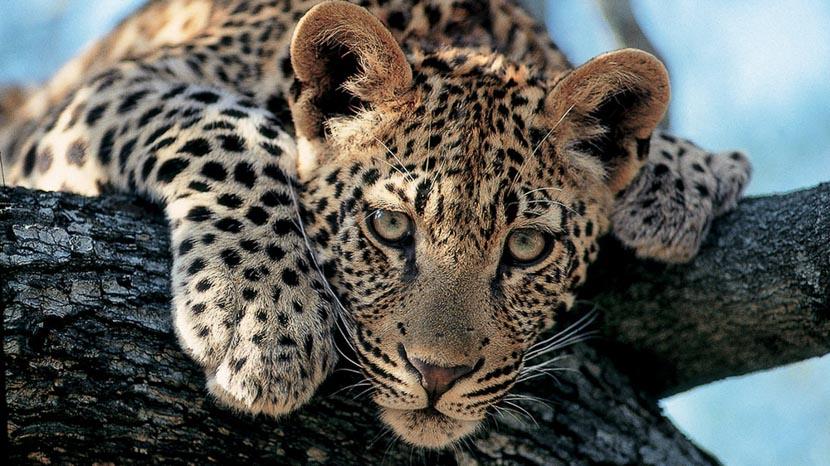 Réserve privée de Thornybush, Safari à Londolozi, Afrique du Sud © Londolozi