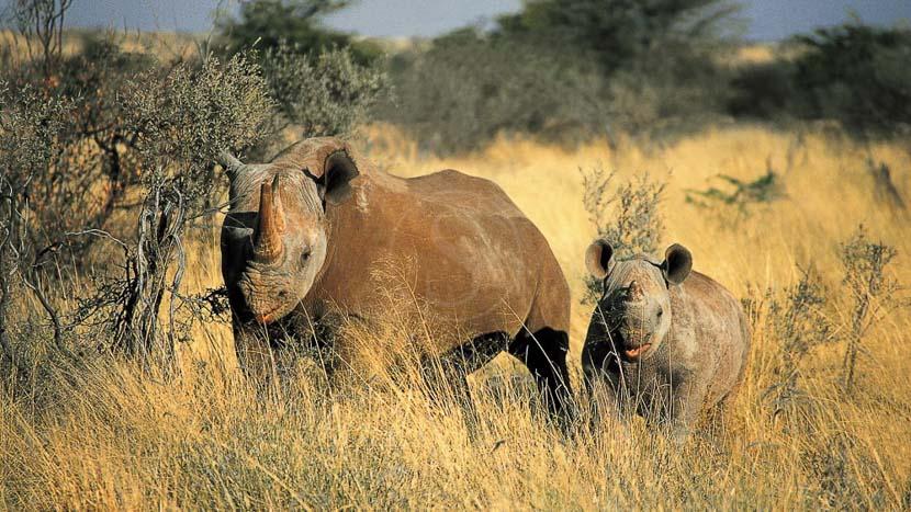 Protection du rhinocéros à Tswalu, Tswalu Game Reserve, Afrique du Sud