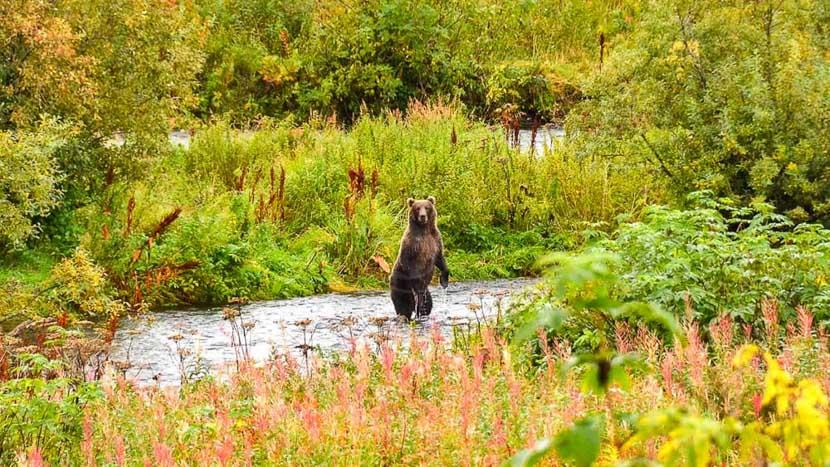 Kodiak Island et sa réserve naturelle protégée, Kodiak Brown Bear Center, Alaska © KBBC