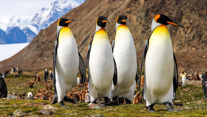 L'Antarctique avec guides francophones, Géorgie du Sud, Antarctique © Shutterstock