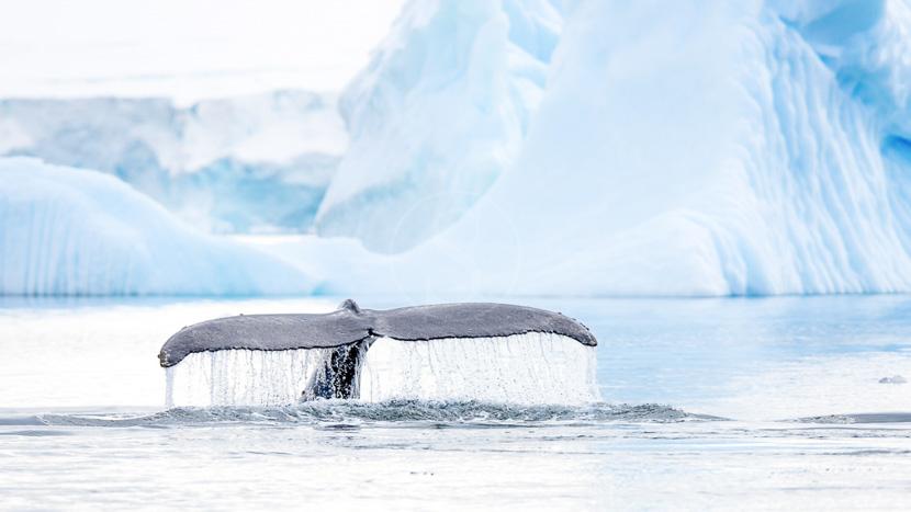 L'Antarctique avec guides francophones, Péninsule, Antarctique © Shutterstock