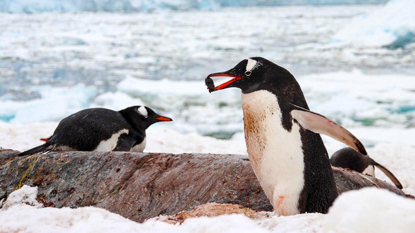 La magie du continent blanc avec National Geographic, Cuverville Island, Antarctique © Shutterstock