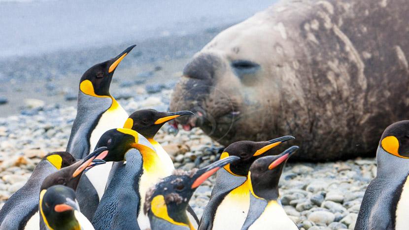 Croisière d'expédition aux îles Falkland, Georgie du Sud et Péninsule Antarctique, Géorgie du Sud, Antarctique © Shutterstock
