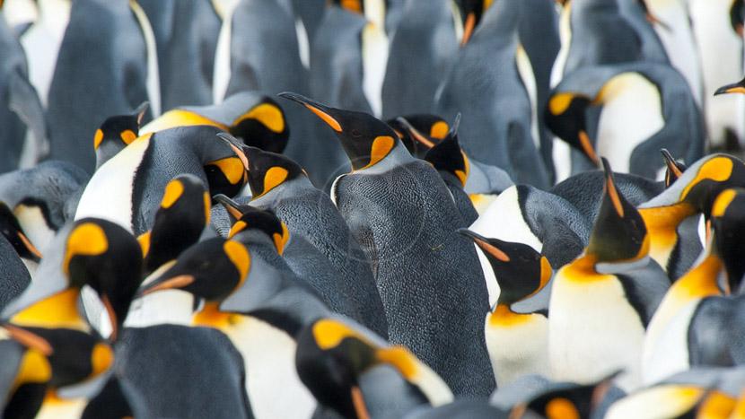 Croisière d'expédition, îles Falkland, Géorgie du sud et Antarctique jusqu'au cercle polaire , Georgie du Sud © Oceanwide Erwin Vermeulen