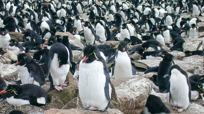 Croisière d'expédition, îles Falkland, Géorgie du sud et Antarctique jusqu'au cercle polaire , Iles Falkland © FIH