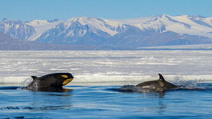 Faune de l'Antarctique, Mer de Ross, Antarctique © Oceanwide