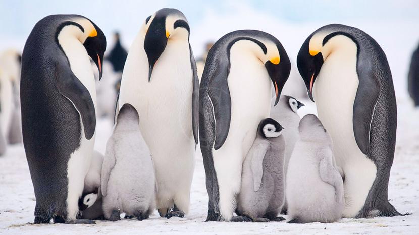 Faune de l'Antarctique, Kapitan Klhebnikov et les Manchots Empereurs @ Quark Expeditions