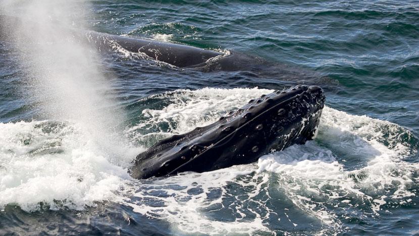 Croisière en Antarctique Cap Horn et Diego Ramirez, Baleines dans le Détroit de Gerlache, Antarctique © Quark - Claudio Suter