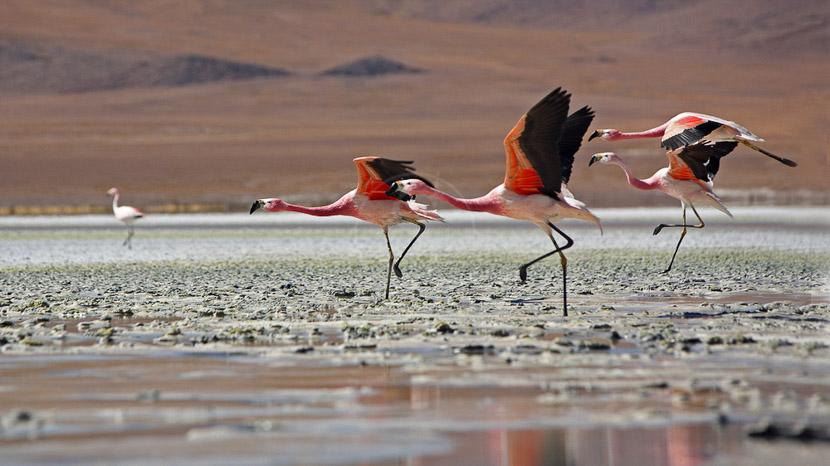 Le ballet des flamants roses , Altiplano, Bolivie