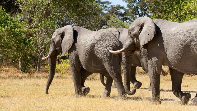 Safari en campement itinérant semi-participatif, Safari dans la réserve de Moremi, Botswana © Laurent Guillot