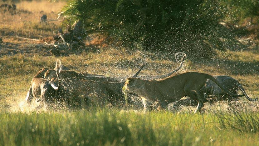 Safaris lions et buffles à Duba Plains, Duba Plains Camp, Botswana © Beverly Joubert