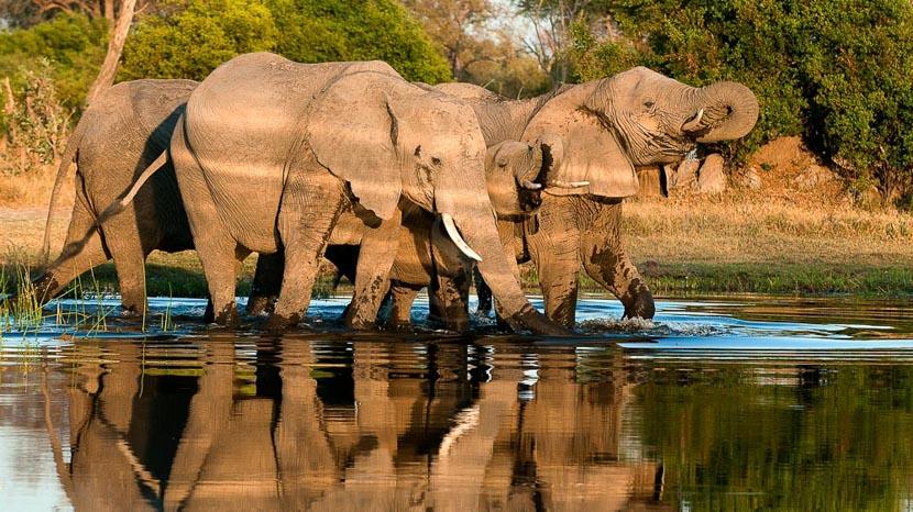 Rencontre avec les éléphants dans le Delta , Safari au Botswana © Alain Pons