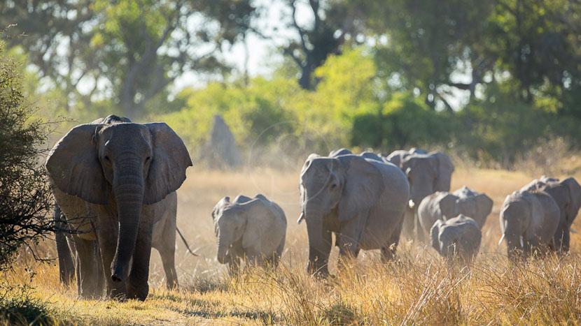 Rencontre avec les éléphants dans le Delta , Safari dans la réserve de Moremi, Botswana © Laurent Guillot