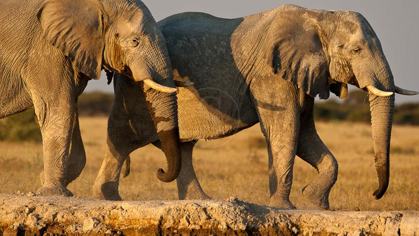 Rencontre avec les éléphants dans le Delta , Safari au Botswana © Laurent Guillot