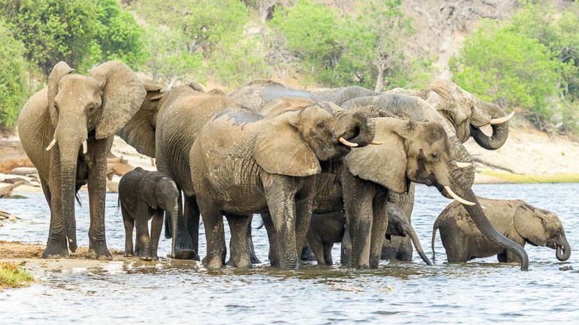 Rencontre avec les éléphants dans le Delta , Chobe Game Lodge, Botswana © Desert & Delta
