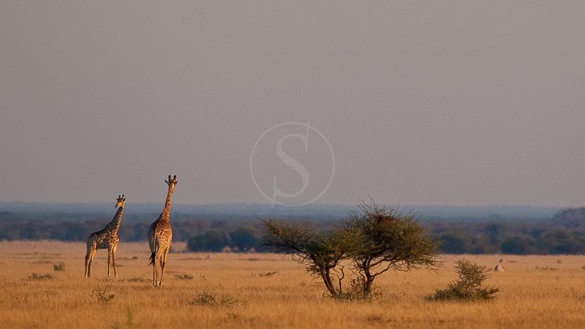 Réserve animalière du Kalahari central, Safari au Botswana © Laurent Guillot