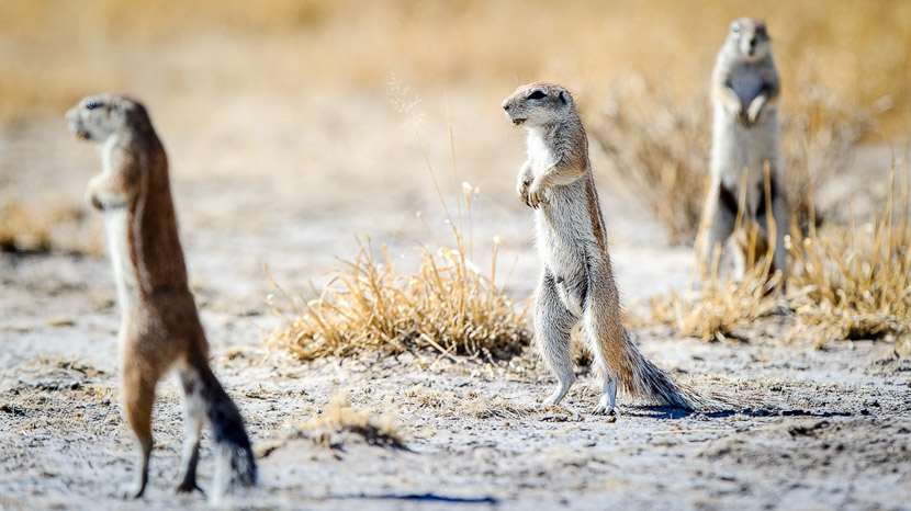 Suricates au pan de Makgadikgadi, Kalahari Camp, Botswana © Wilderness Safaris