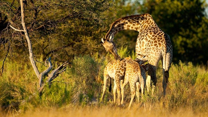 Réserve de Moremi, Safari au Botswana © Laurent Guillot