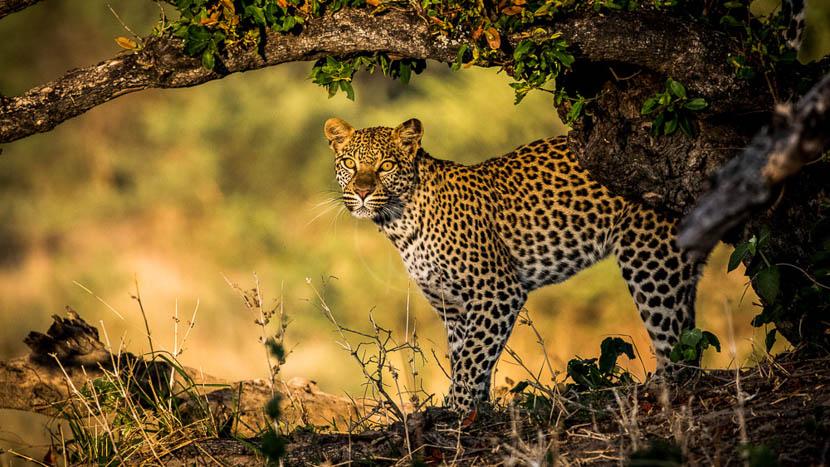 Safaris à Mombo Camp, Little Mombo, Botswana © Wilderness Safaris
