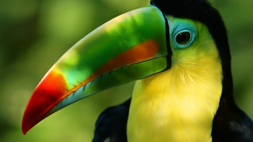 Croisière photo en Amazonie accompagnée par Christophe Courteau, toucan, Brésil  © Shutterstock