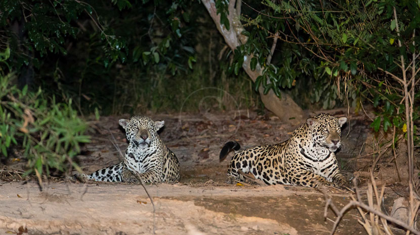 Safari Jaguar au Pantanal, Safari au Pantanal, Brésil © Michel Denis-Huot