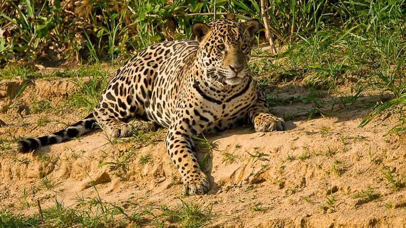 Safari Jaguar au Pantanal, Jaguar au Pantanal, Brésil © Christophe Courteau