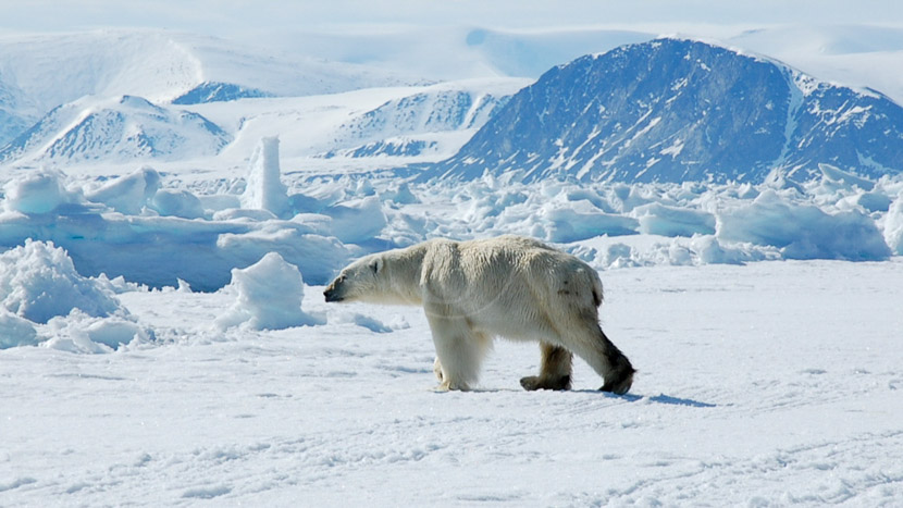 Safari ours polaires et narvals en Terre de Baffin, Expédition en Terre de Baffin, Canada © AK - tous droits réservés