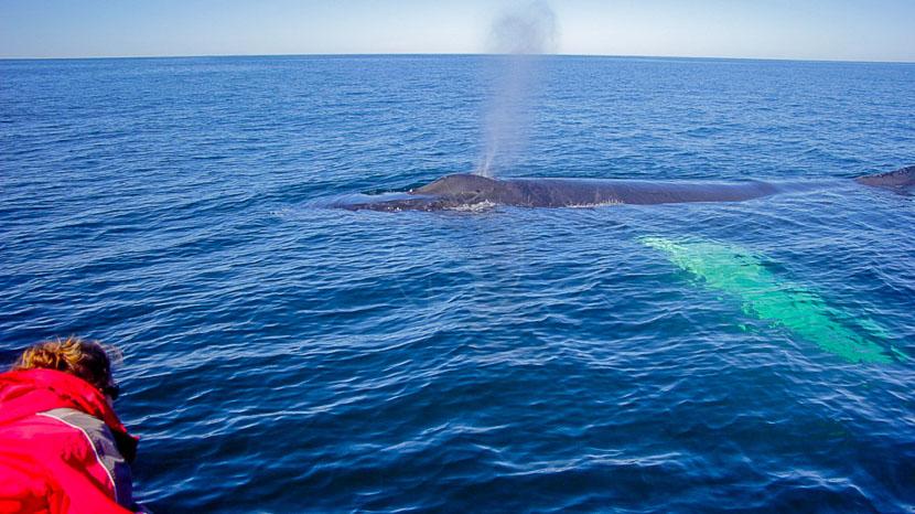 Croisière d'observation des baleines en zodiac, Plongée avec les baleines bleues, Canada © MICS
