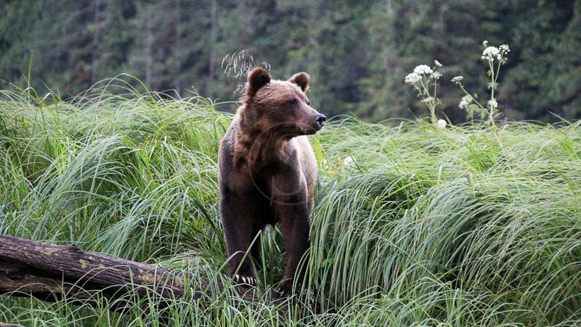 Observer les ours au Great Bear Lodge, Great Bear Lodge, Canada © Tom Rivest