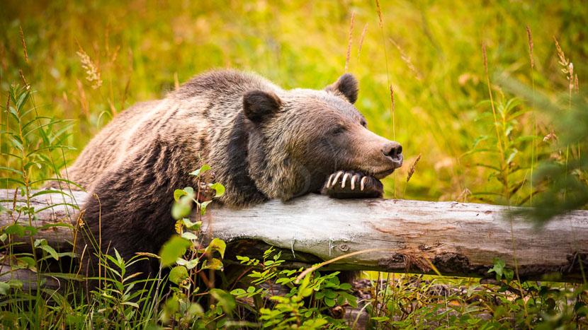 La Great Bear Rainforest, Région de Banff dans l'Alberta, Canada