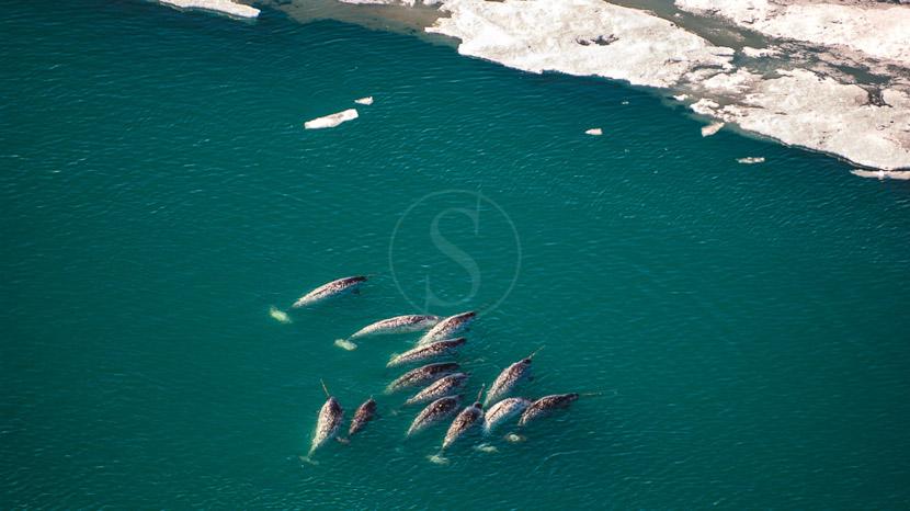 Faire du kayak avec les narvals, Ours et Narvals, Canada © Mario Cyr