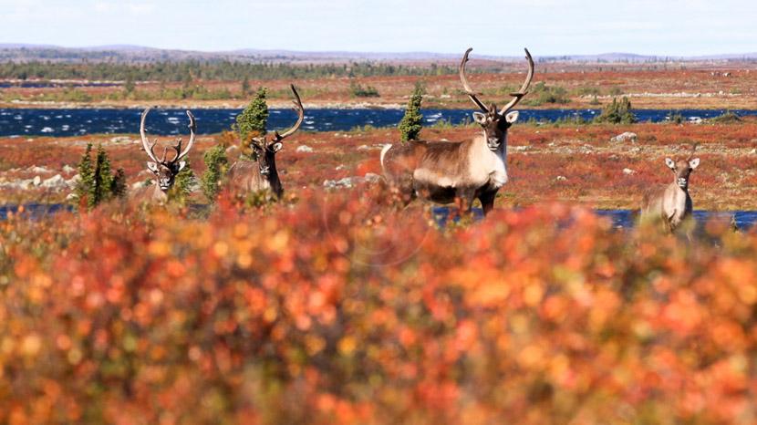 Assister à la migration des caribous, Migration des Caribous, Manitoba