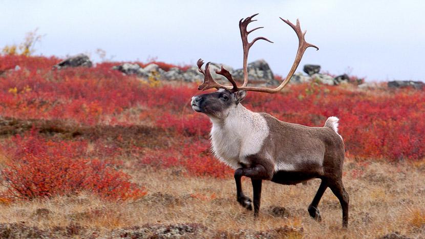 Assister à la migration des caribous, North Knife Lake Lodge, Canada © Churchill Wild