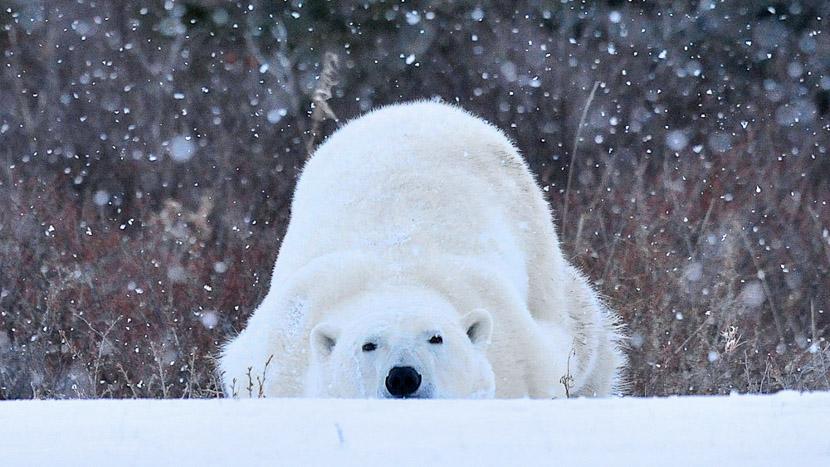 Assister à la sortie des tanières des ours polaires, Nanuk Polar Bear Lodge, Canada © Churchill Wild