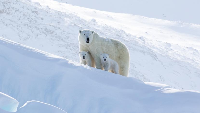 Assister à la sortie des tanières des ours polaires, Expédition sur la Terre de Baffin © Dave Briggs