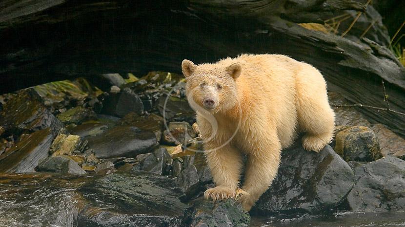 Le Spirit Bear et les ours en Colombie-Britannique,
