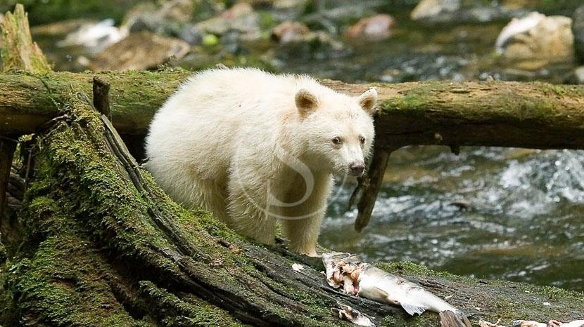 Le Spirit Bear et les ours en Colombie-Britannique, Spirit Bear Lodge, Canada