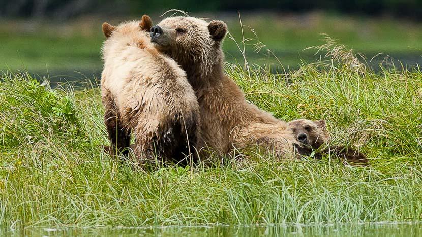 Observation des grizzlis à Telegraph Cove, Grizzly sur l'ile de Vancouver, Canada © Patrick Gallet