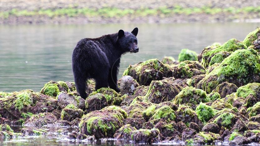 Observation des grizzlis à Telegraph Cove, Tofino sur l'île de Vancouver, Canada © Shutterstock