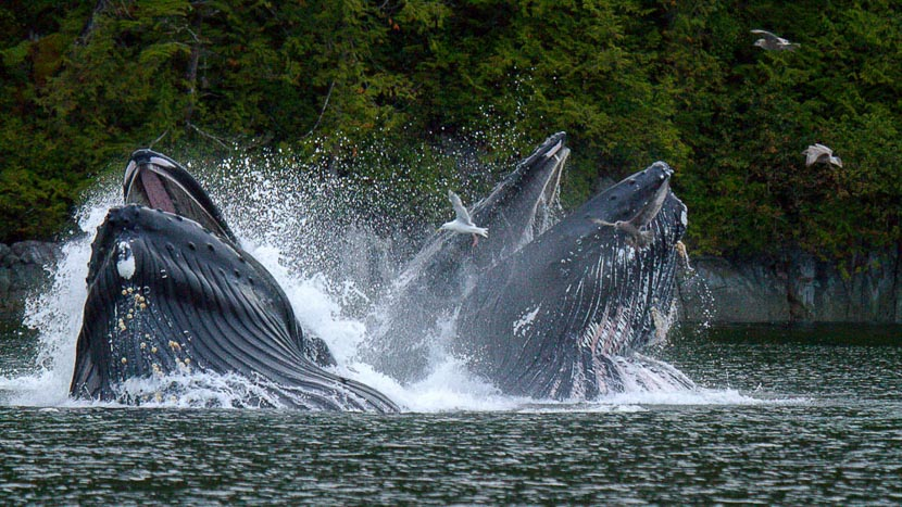 Croisière d'observation des baleines, Spirit Bear Lodge, Canada