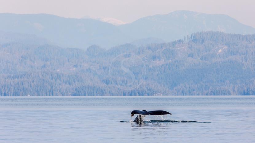 Croisière d'observation des baleines, Détroit de Johnstone en Colombie Britannique, Canada