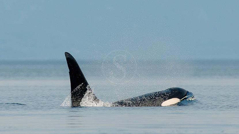 Croisière d'observation des orques, Orque en Colombie Britannique © Patrick Gallet