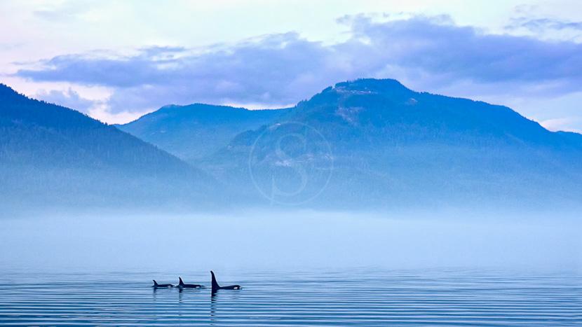 Croisière d'observation des orques, Ile de Vancouver, Canada